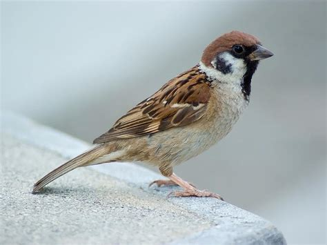 sparrow pictures hd wallpapers plus