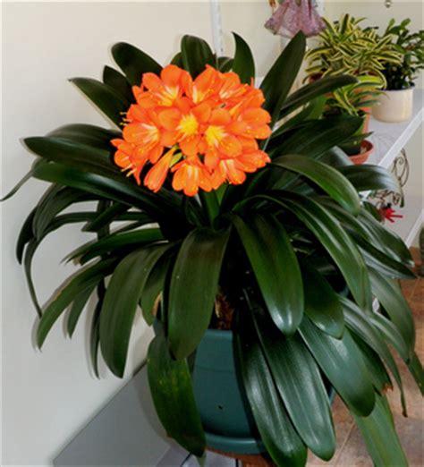 Grow Clivia Miniata   indoor flowering plants   Clivia