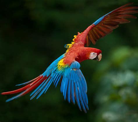 scarlet macaw beautiful sassy bird ecuador birding tours