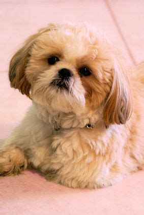 how many years does a shih tzu live shih tzu dogs and puppys on