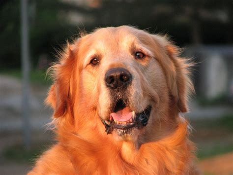 golden retriever outside free pictures canine 255 images found