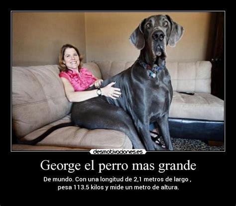 mujer con un perro mas grande george el perro mas grande desmotivaciones