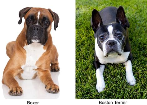 boxer terrier puppies meet the miniature boxer a mix breed of boxer and boston terrier
