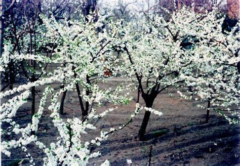 alberi fioriti alberi fioriti 03 jpg
