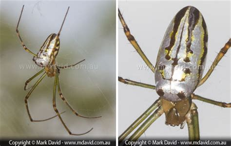 Silver Garden Spider Diet David Some Common Orb Weaving Spiders In Eastern