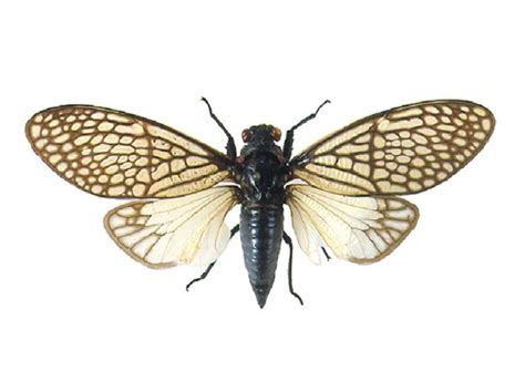 the wings of an insect are attached to this section real cicada jewelry cicada wing choker brass torque