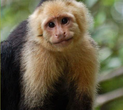 capuchin monkey facts history useful information and