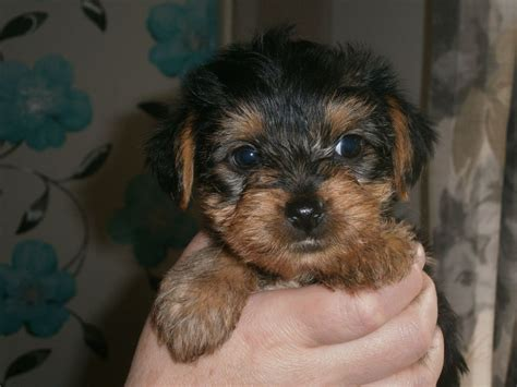pedigree yorkie puppies for sale pedigree terrier puppies for sale breeds picture