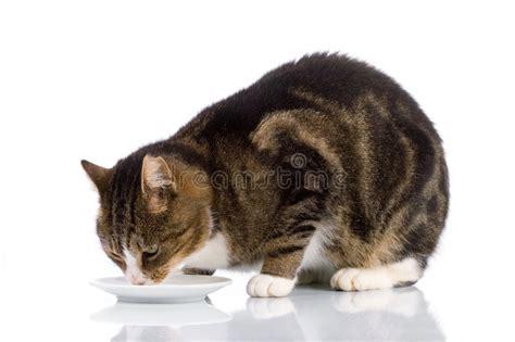 Cat Dreams Of Fish Birds Milk by Cat Milk 2 Stock Image Image Of Drink