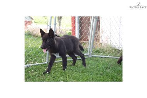 high content wolfdog puppies for sale meet a wolf hybrid puppy for sale for 500 high content wolf puppy
