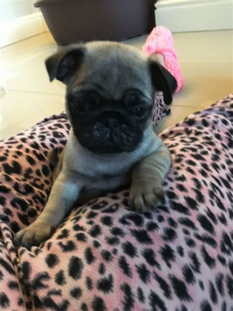 pugs for sale liverpool boy pug for sale liverpool merseyside pets4homes
