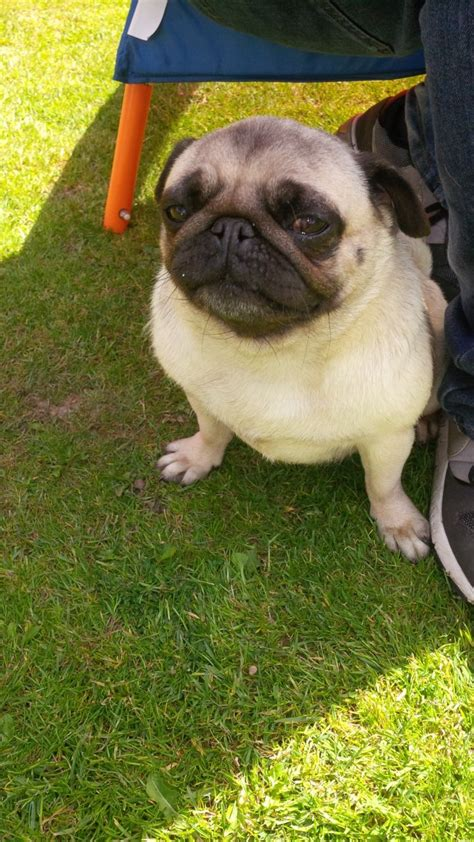 pugs for sale cambridgeshire beautiful fawn pug for sale wisbech cambridgeshire pets4homes