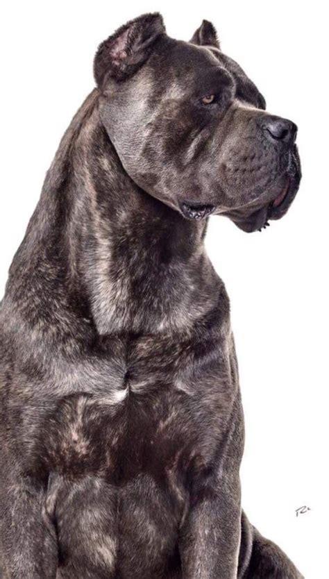 king corso puppies 1000 ideas about king corso on italian mastiff puppies mastiff
