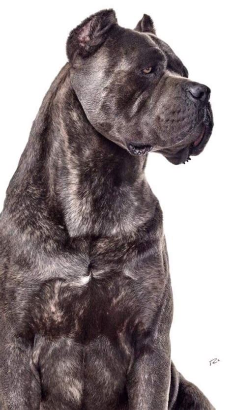 king corso puppies for sale 1000 ideas about king corso on italian mastiff puppies mastiff