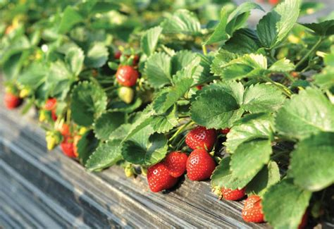 Strawberry Garden by How To Grow Strawberries In Your Garden