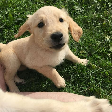 golden retriever puppies boston golden retriever puppies boston lincolnshire pets4homes