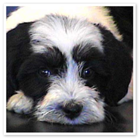 lowland sheepdog puppies for sale puppies lowland sheepdogs