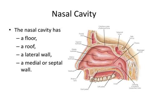 Floor Of The Nasal Cavity by Ppt Anatomy Of Nose And Paranasal Sinus Powerpoint