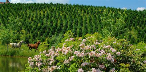 file christmas tree farm in little switzerland nc jpg