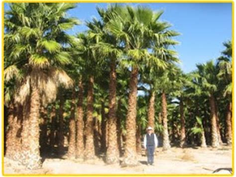fan palm growth rate gregory palm farms washingtonia robusta fan palms
