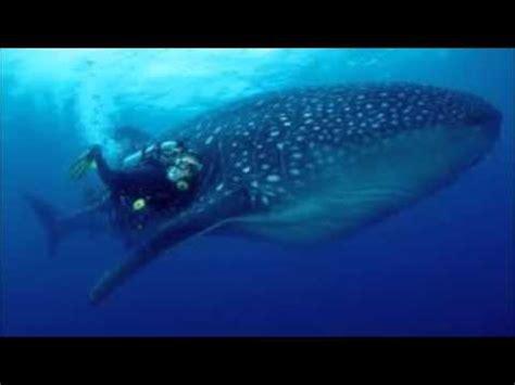 imagenes de animales jigantes buceando con los gigantes del mar imagenes buceando con