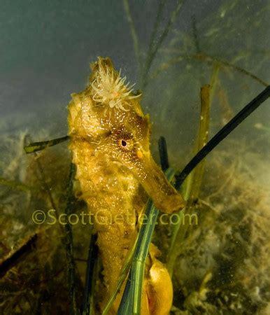 pacific seahorse facts, habitat & photos|underwater