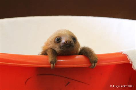 baby sloth wallpaper gallery