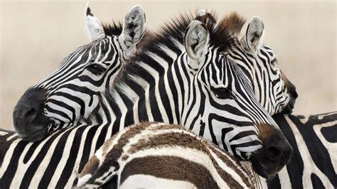 apple zebra wallpaper hd wallpaper zebra hd wallpapers