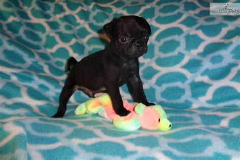 pug runt runt black named doc black pug for sale in fayetteville ar