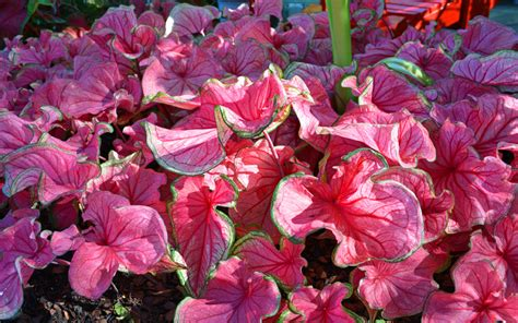 a middle of the garden season caladium planting solution