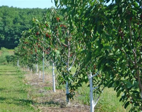 cherry tree wisconsin bayfield s sweet cherries are ripe and plentiful regional apg wi