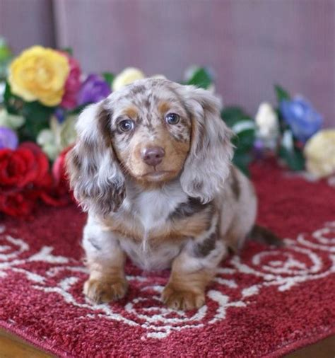 miniature haired dapple dachshund puppies for sale tiny dapple doxie what markings beautiful apple and so tiny click here