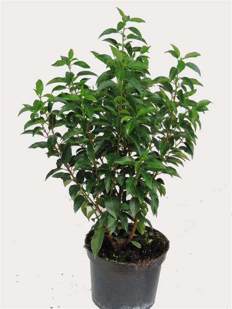 portugiesischer kirschlorbeer prunus lusitanica angustifolia pflanzen versand harro