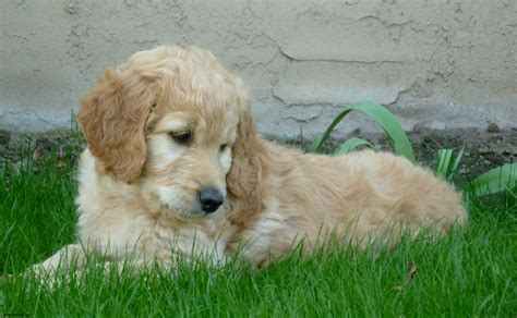 goldendoodle lifespan goldendoodle information and facts breeds picture