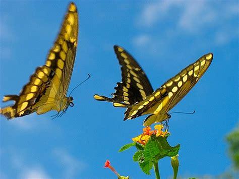 imagenes de mariposas blancas volando fotos mariposas volando imagui