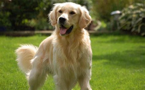 is a golden retriever a golden retriever breed 187 information pictures more