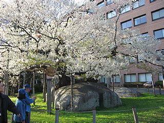file ishiwari zakura jpg wikimedia commons