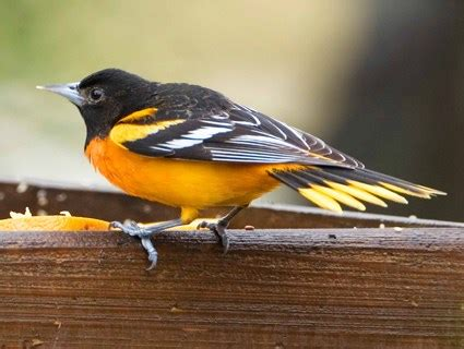 baltimore oriole, identification, all about birds