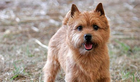 norwich terrier puppies norwich terrier breed information