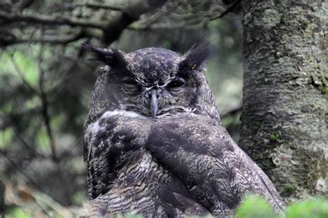Snowy Owl Kit168 ä á Chæ I M 244 H 236 Nh GiẠY Miá N Ph 237 - photos terre neuve et labrador images de terre neuve et