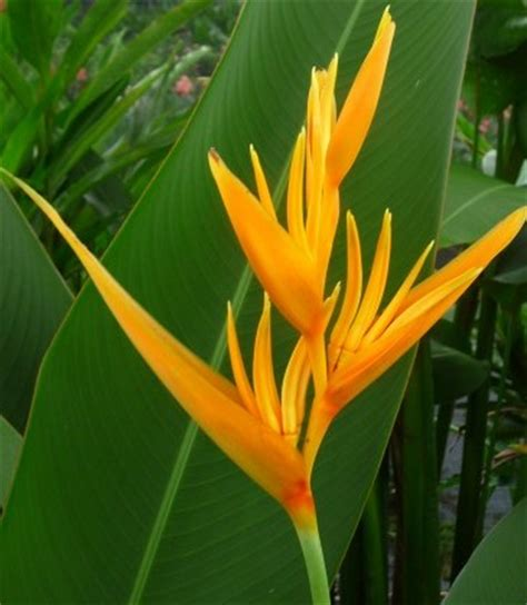 Dark Green Foliage Plants - heliconia psittacorum golden torch