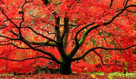 Erable Du Japon by Erable Du Japon Acer Palmatum Et Autres 233 Rables Japonais