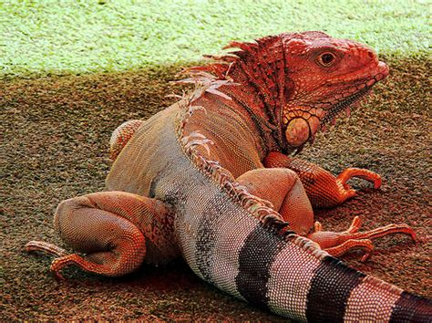 Handbags Susan Farber Proves Its Never To Late To Start Anew Business Second City Style Fashion 2 cleaning your iguana 10 tips on caring for an iguana