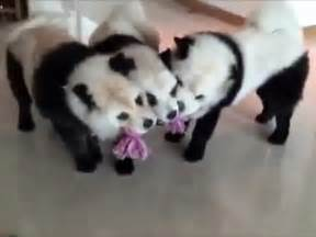 puppies that look like pandas dogs that look like panda bears for sale breed dogs spinningpetsyarn
