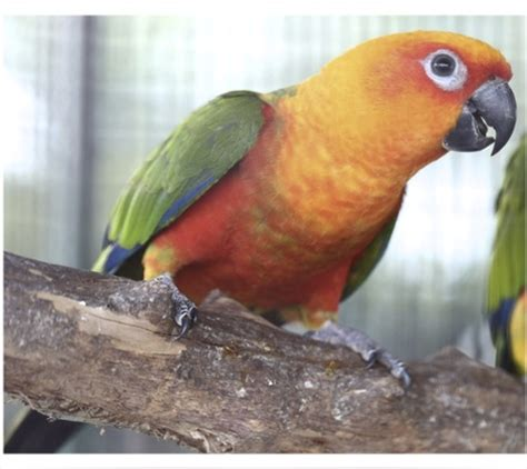 jenday conure 115768 for sale in vancouver wa