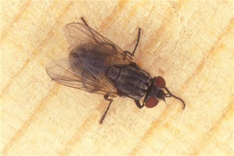 house fly infestation thorax location bugs bug characteristics elsavadorla