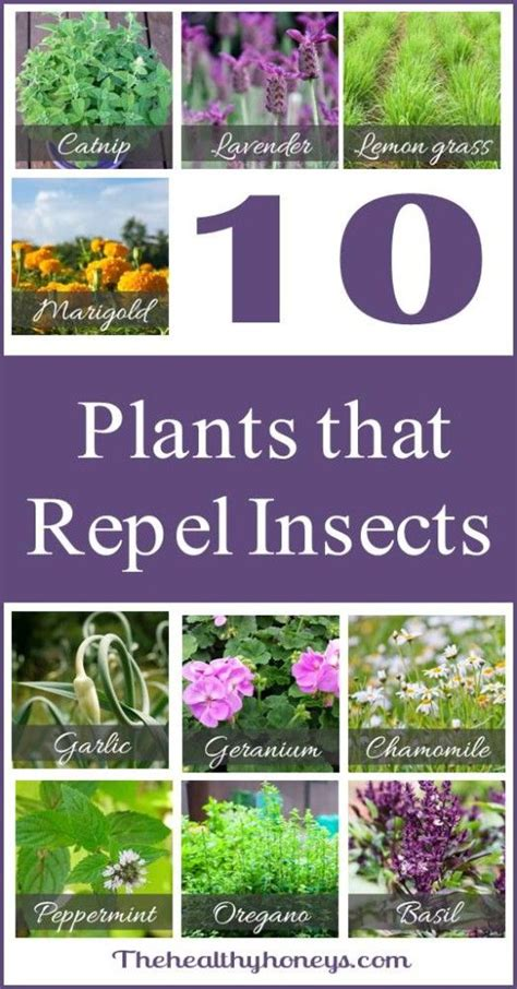 plants that repel mosquitoes pinterest the world s catalog of ideas