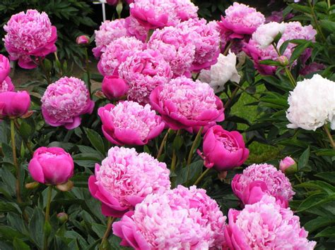 Peony Garden by Easy Pretty Flower Combination Ideas For Landscaping