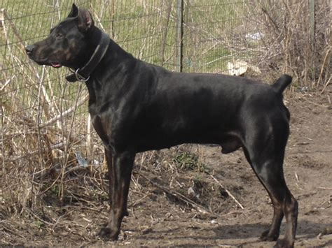 canis panther puppies pin canis panther puppies for sale image search results on