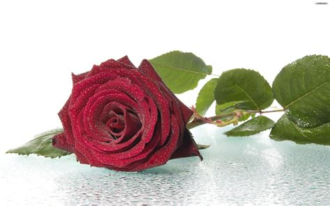 valentines day red roses red rose gift on valentines day 2016